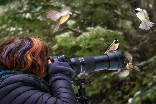 Photographing some very bold Black Capped Chickadees, in Algonquin Provincial Park.