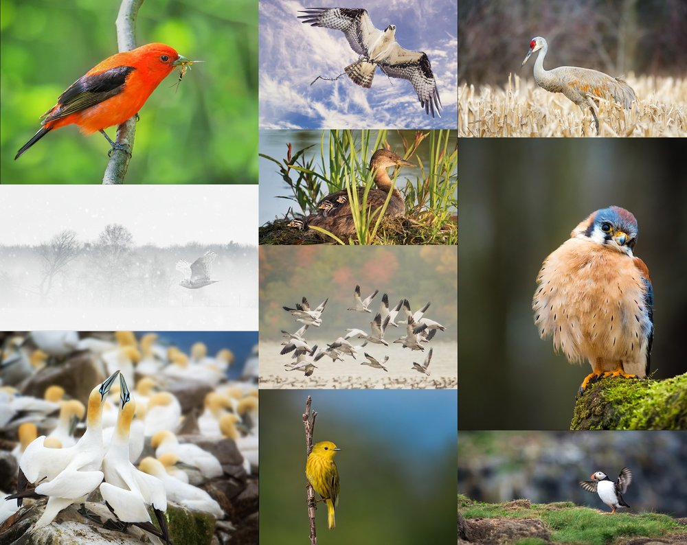 The ten images that were accepted towards my Professional Photographers of Canada Accreditation in Ornithology/Bird Photography.