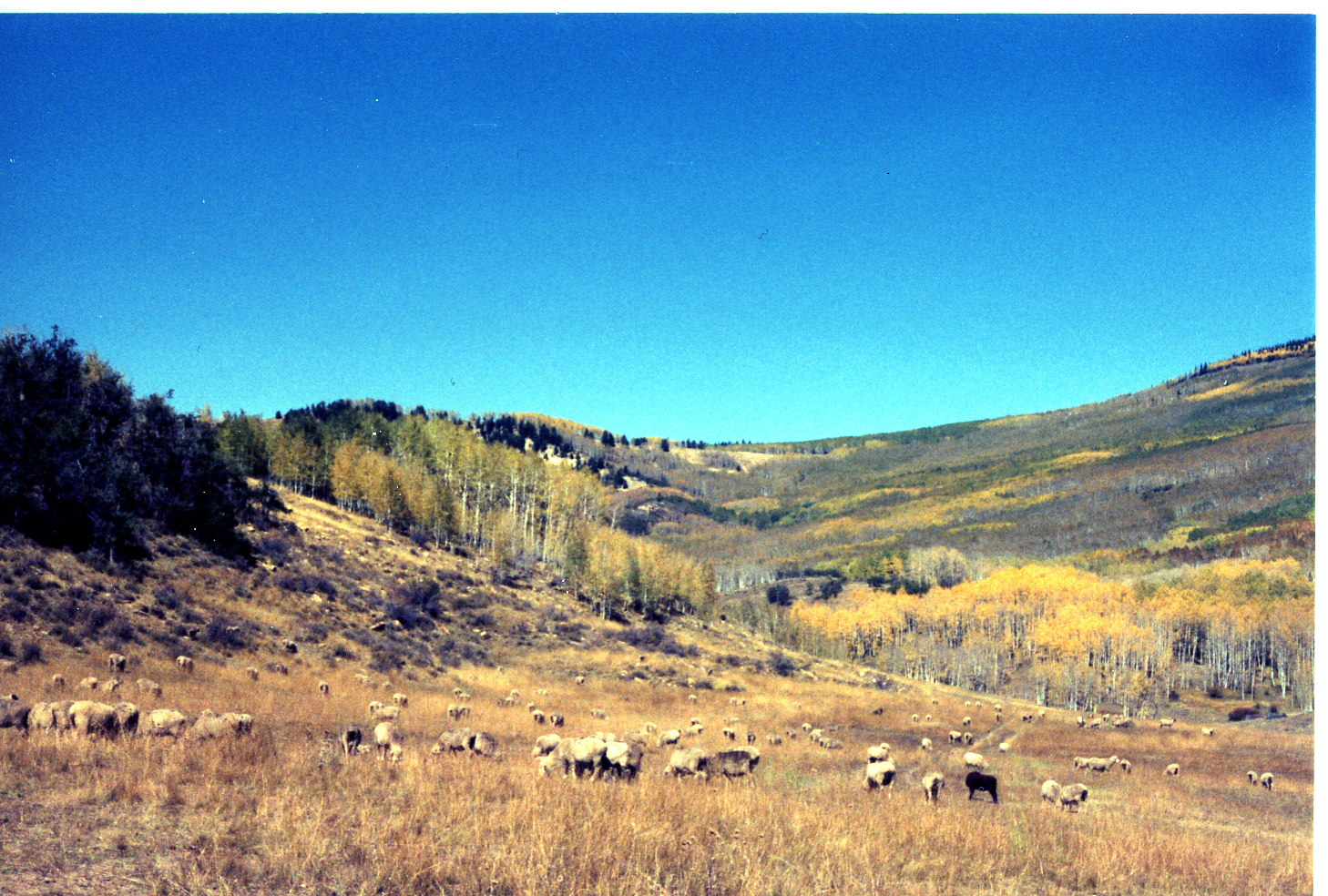 Sheep grazing on Cedar Mountain in the fall.