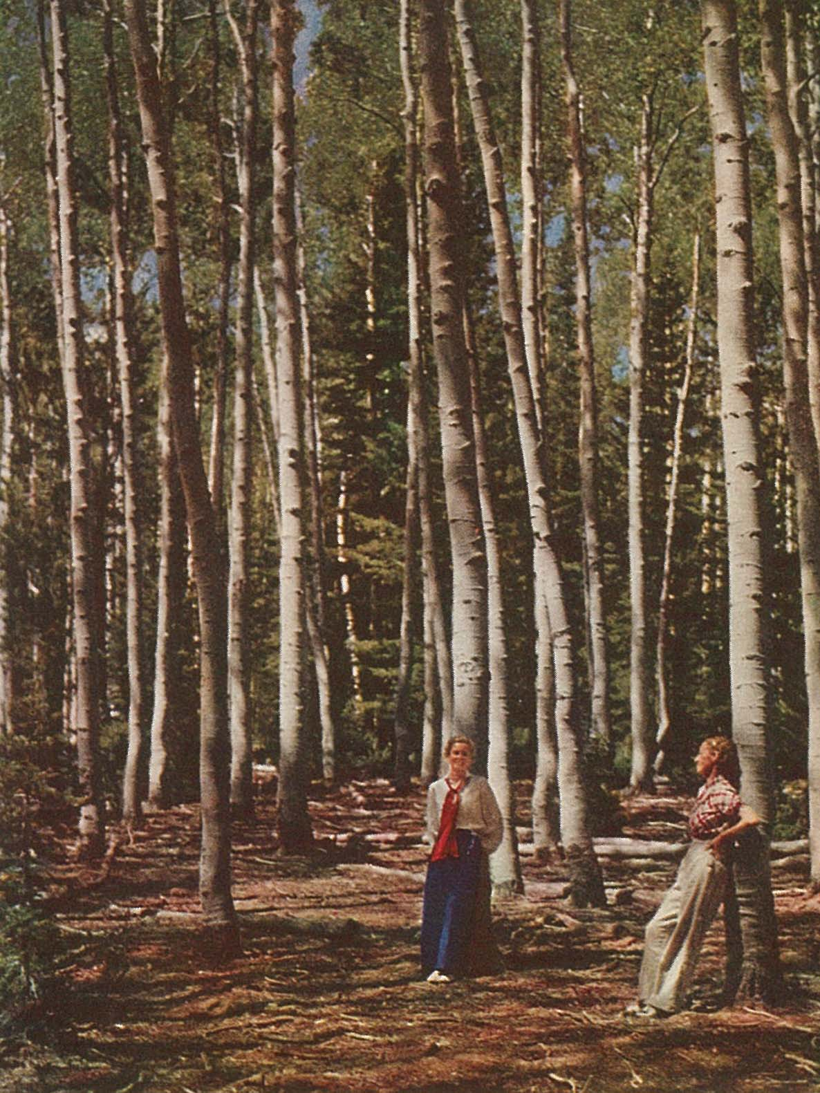 The aspens of Cedar Mountain