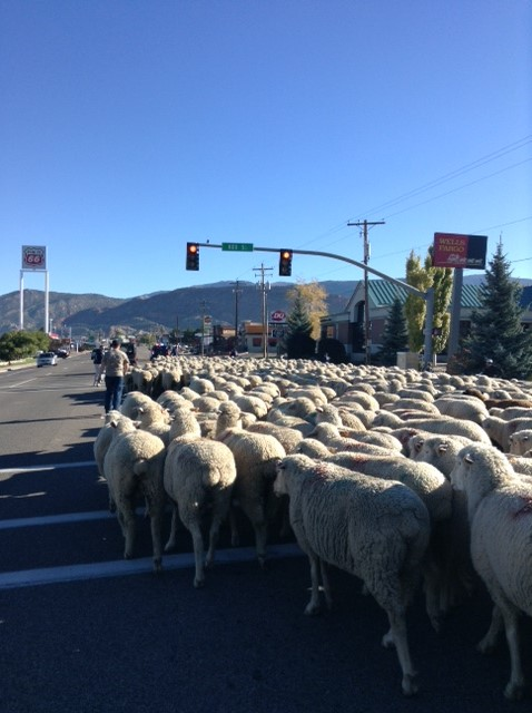 Sheep on parade