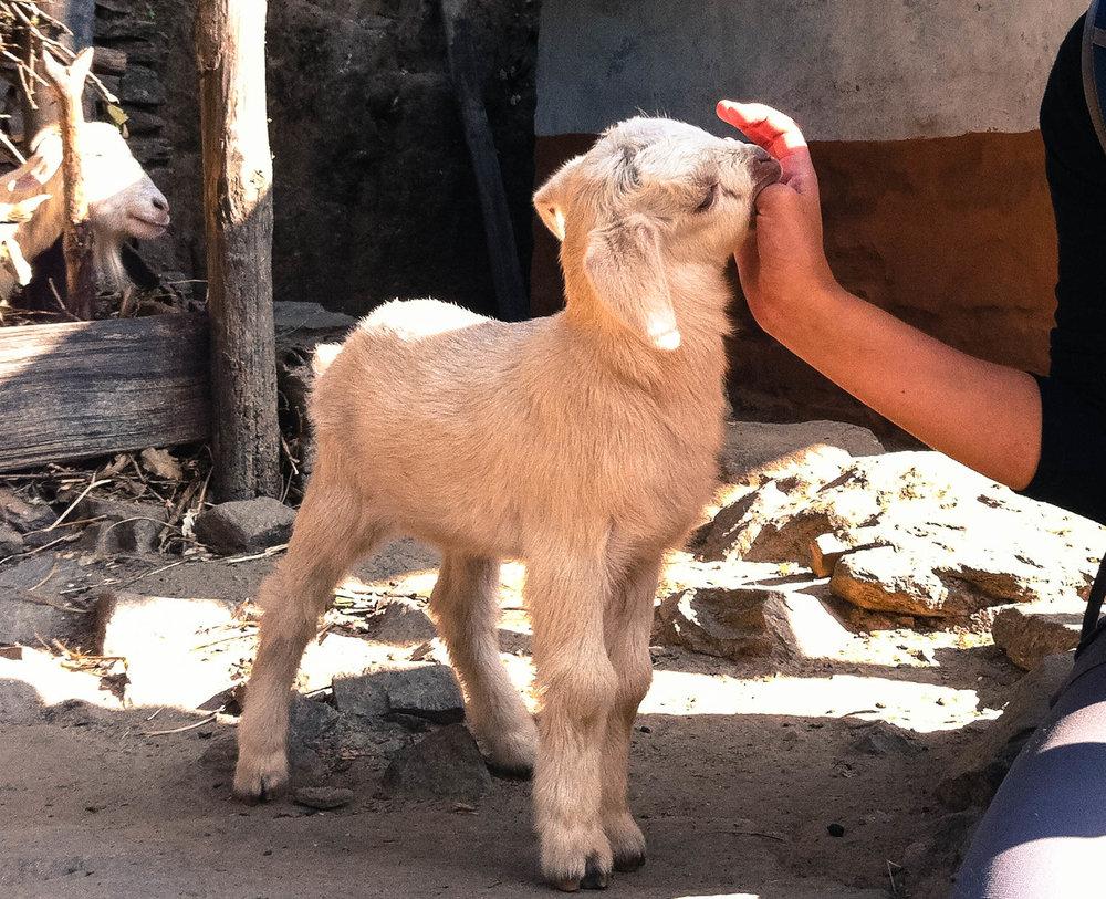 Baby goat nibbles near Shivalaya, Nepal.