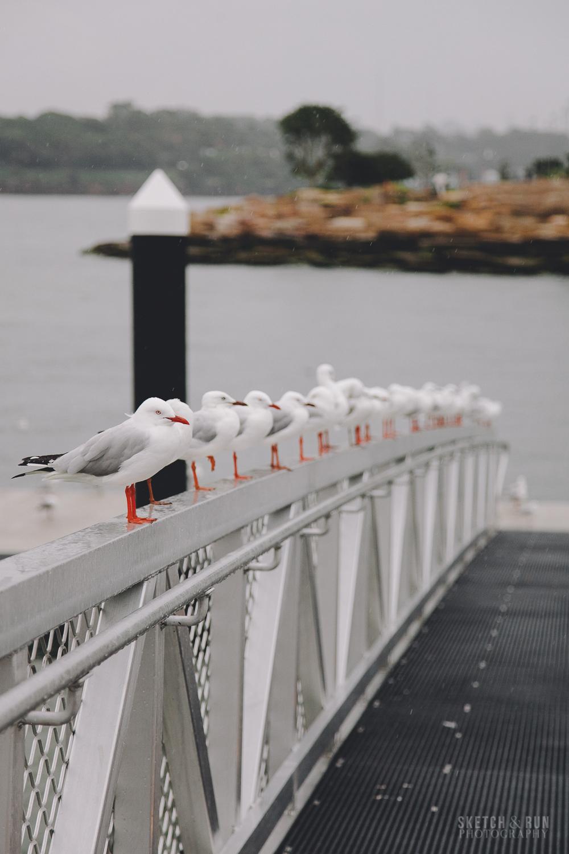 seagulls, sydney, line, regular