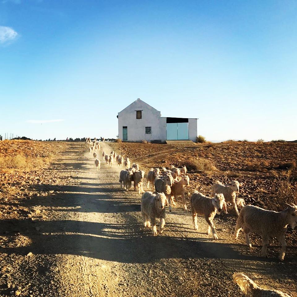 Karoo home to the mohair the world over .JPG