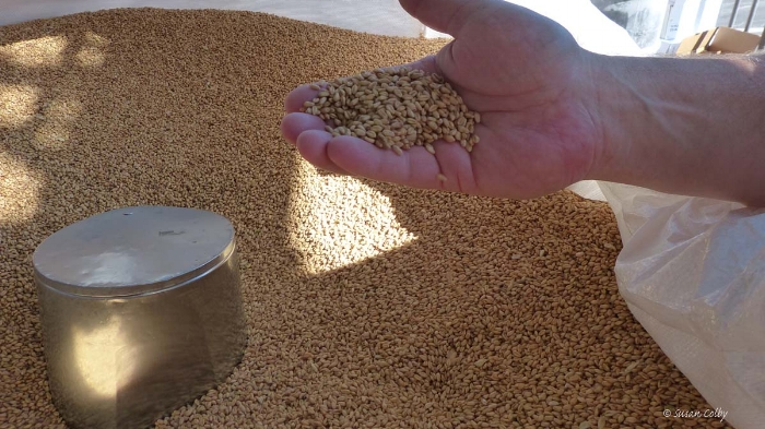 grain for craft distilling