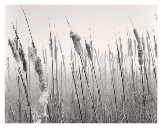 Cattails in Fog