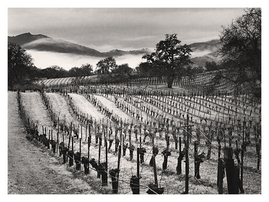 Old Grapevines