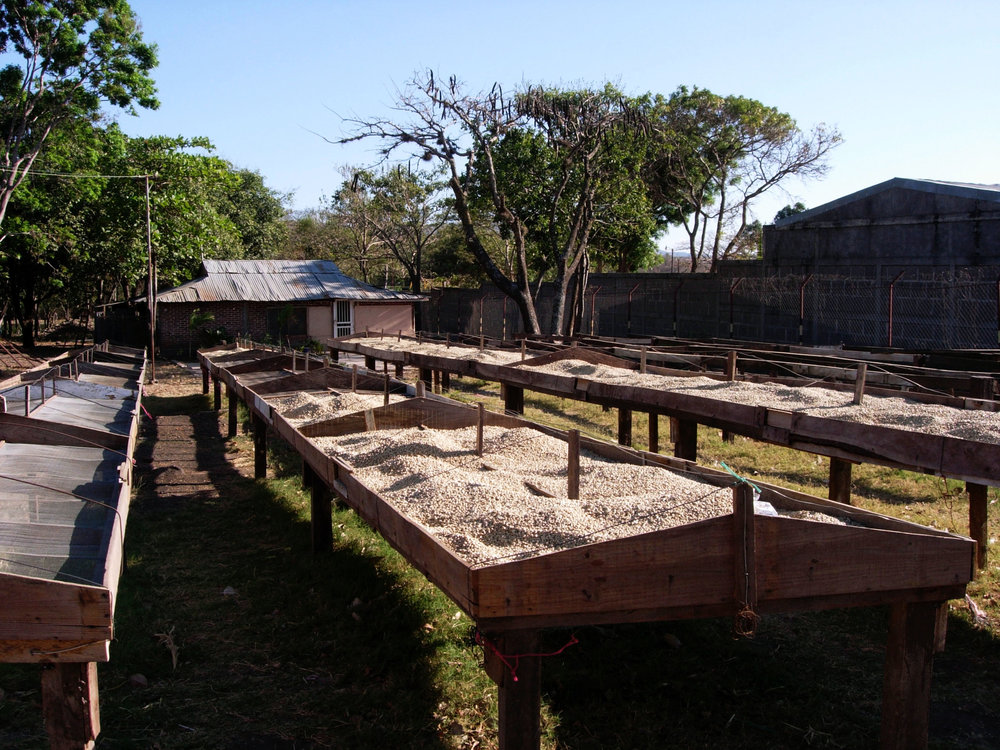 coffee beans drying.jpg