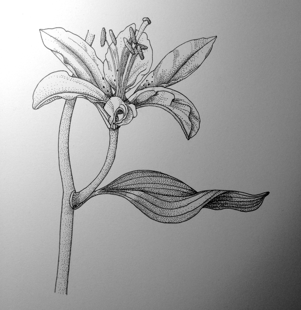 Part 2: Stippled Lily, in ink.