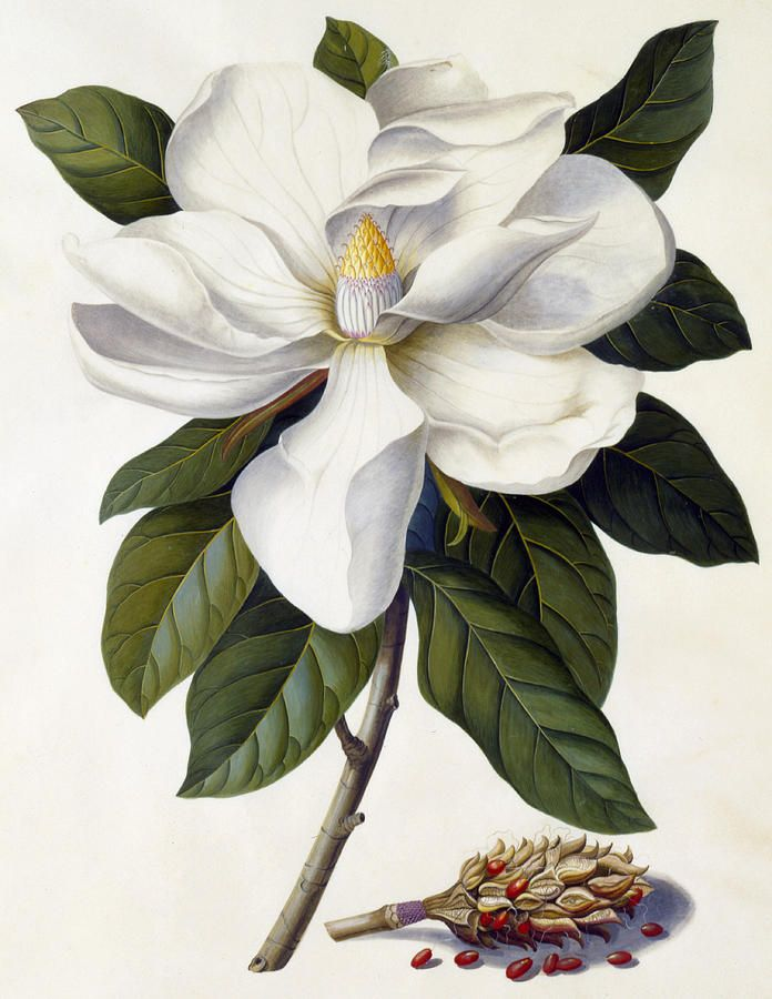 The Bull Bay (Magnolia grandiflora) by Georg Dionysius Ehret. 1743.