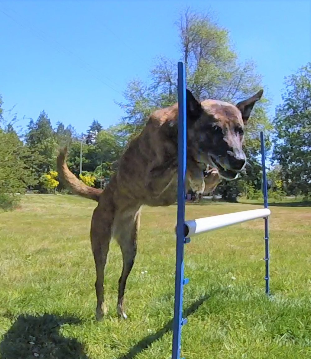 Vegas jumps at Locarno off leash dog park!