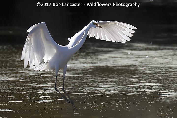 White Egret Landing_MG_5366.jpg