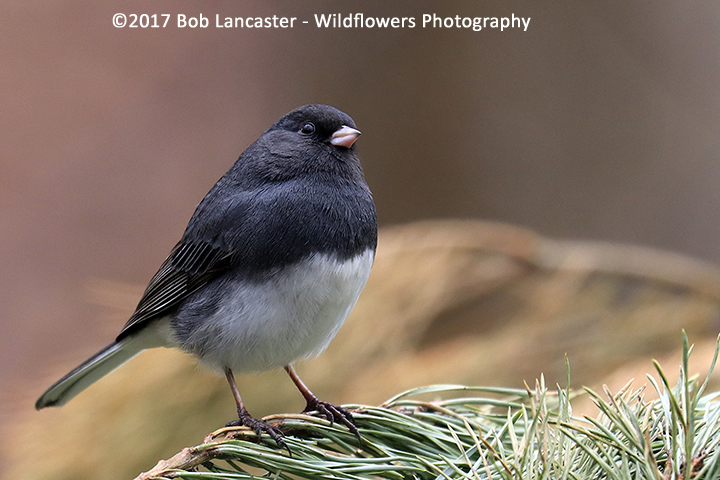 Dark-eyed Junco_1048.jpg