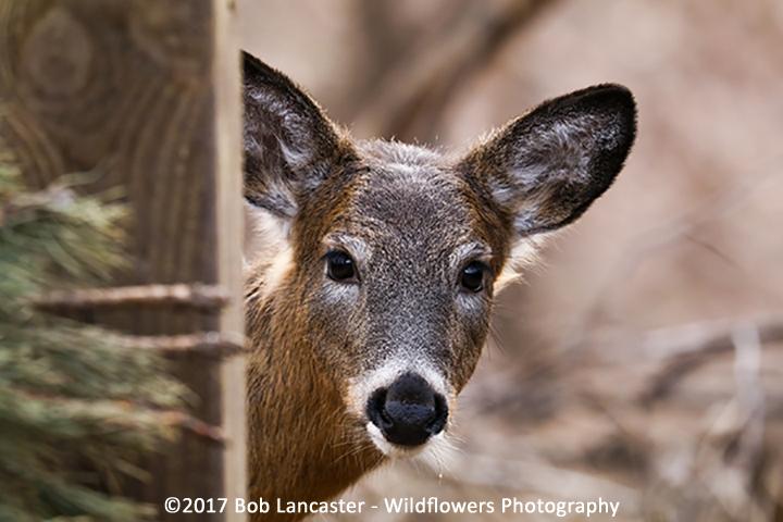 young_deer_020517_MG_1287.jpg
