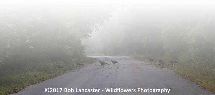 turkeys in the fog_2517.jpg