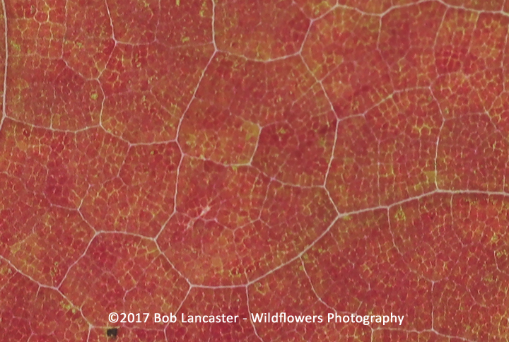 Leaf close-up_red maple_3083.jpg