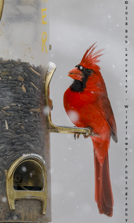 cardinal at feeder in the snow_MG_8418.jpg