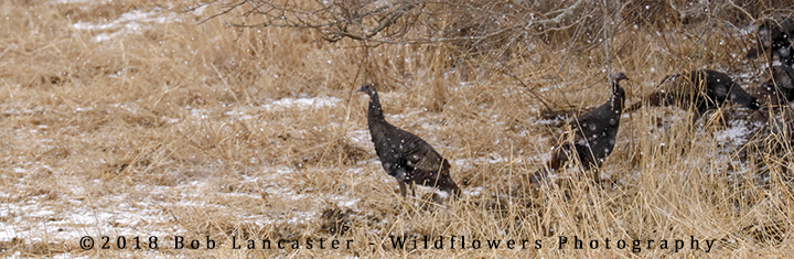 Wild_turkeys_in_the_snow_8726.jpg