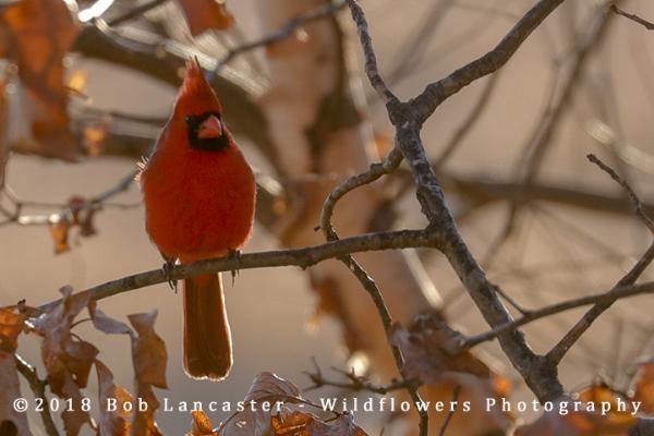 Male _Cardinal_8884.jpg