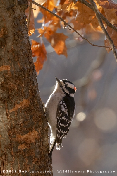 Downy_Woodpecker_8841.jpg