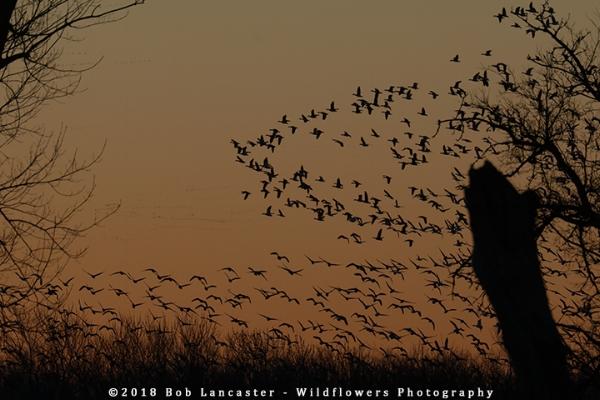 #3Snow_geese_sunrise_Desoto_Bend-IMG_9268.jpg