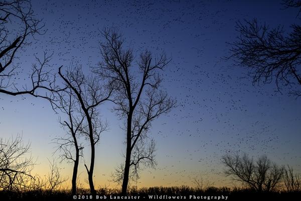 #2Snow_geese_sunrise_Desoto_Bend-5Q0A4057.jpg