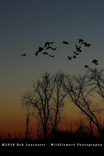 Snow_geese_sunrise_Desoto_Bend-5Q0A3947.jpg