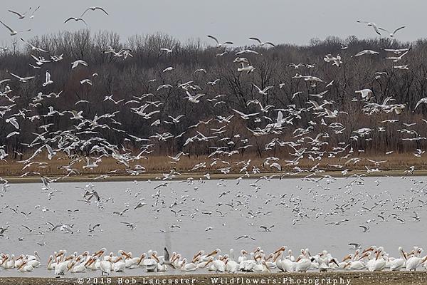 American White Pelicans#2_MG_0114.jpg