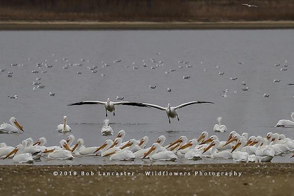 american White Pelicans#1_MG_0138.jpg