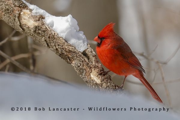 cardinal after a snow storm_MG_0238.jpg