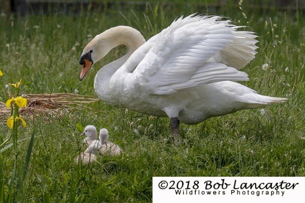 Four cygnets with mom_MG_3933.jpg