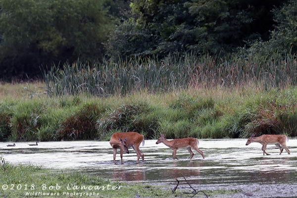 A family of deer, crossing a creek. Interesting, the fawns did not stop and drink, but mom did.