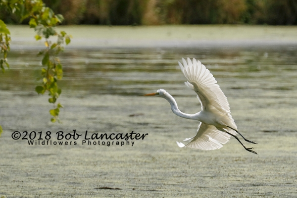Adult white egret ready to land just out of sight of my camera.