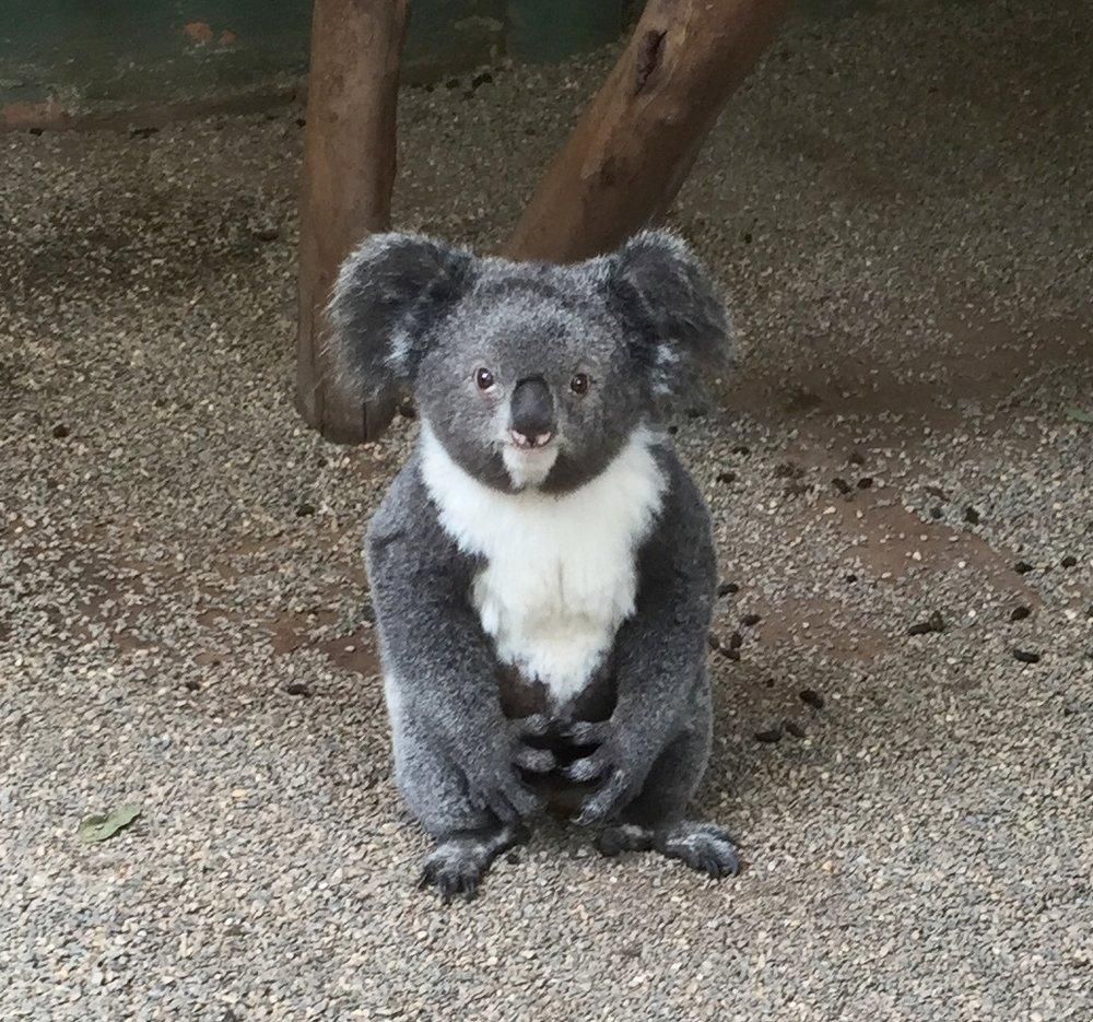 Archer, the Koala