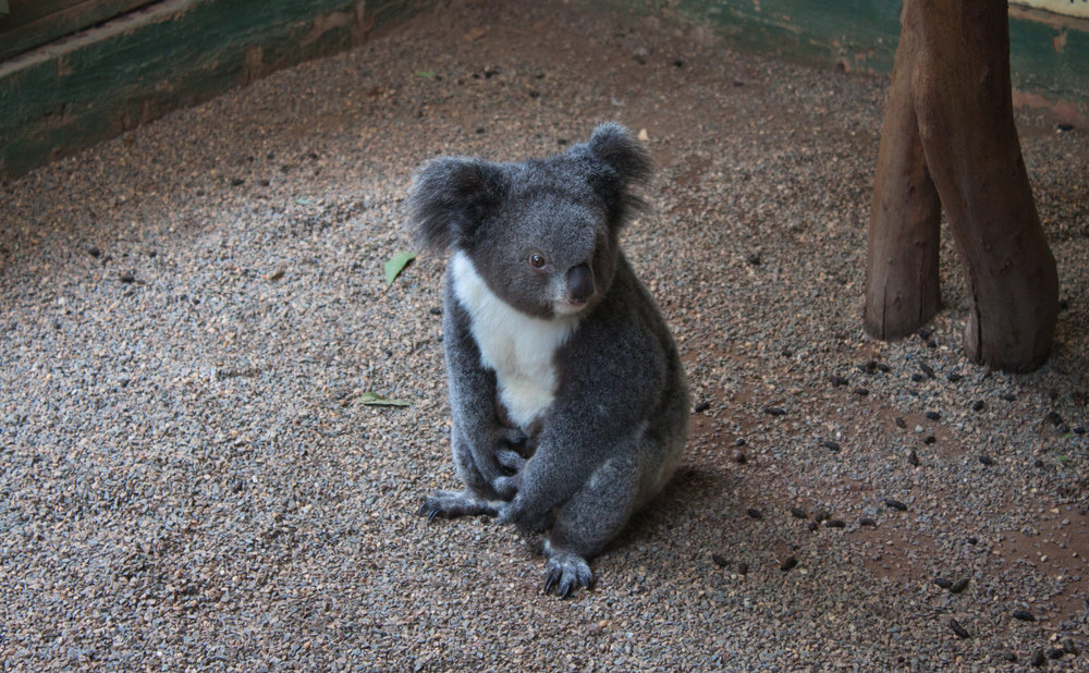 Meet Archer the Koala - Check out our adventures in Australia!