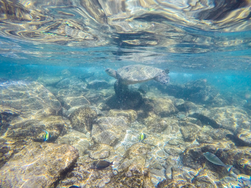 SWIMMING WITH TURTLES - CHECK OUT MAUI