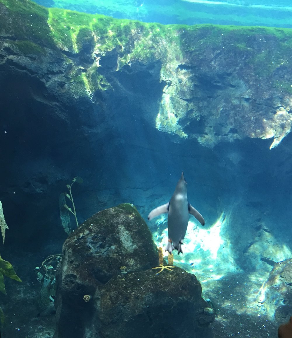 Penguins Sydney Toranga Zoo - Wandering Jokas Travel Blog