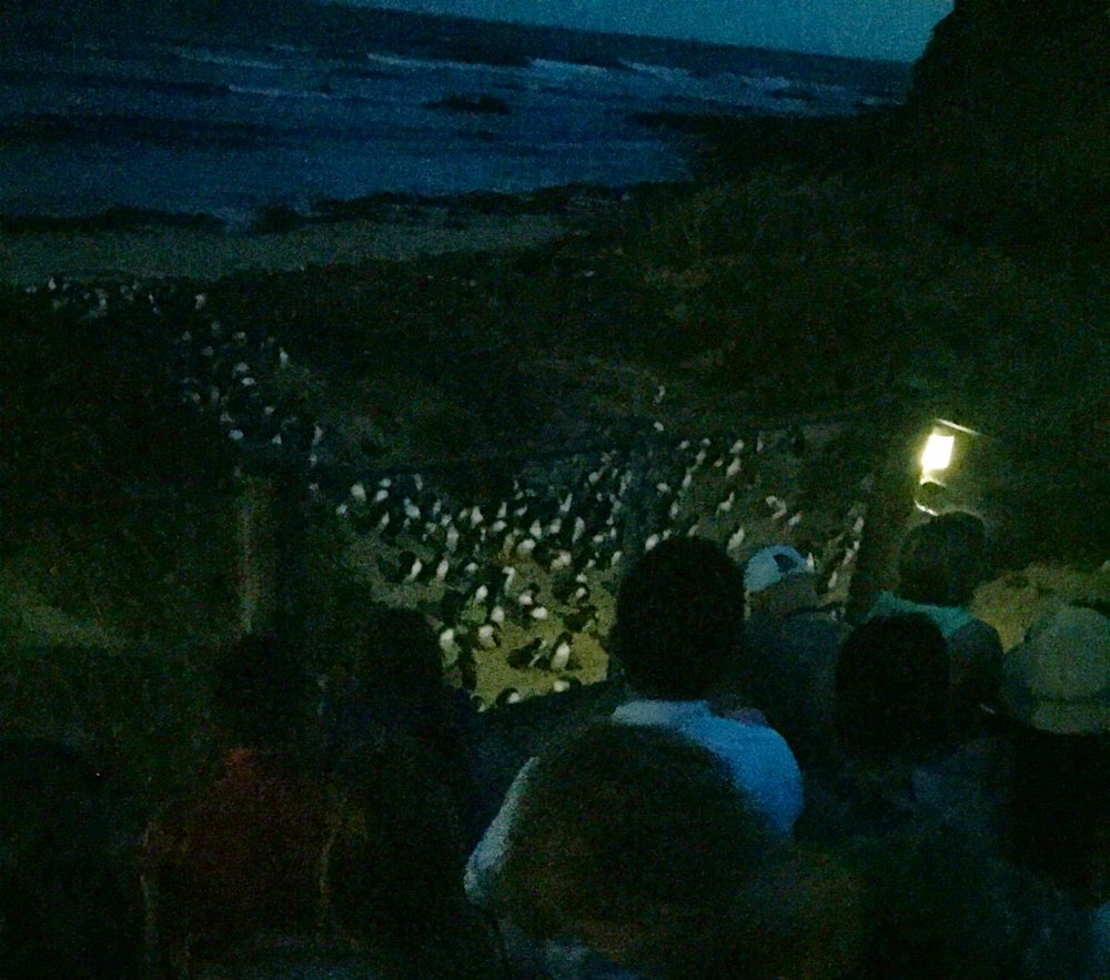 Hundreds of Penguins come back looking for their families.