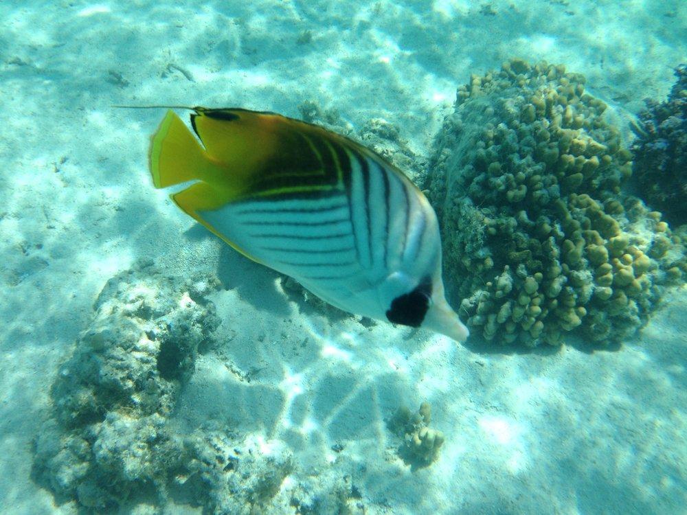 Butterfly fish Snorkeling in Moorea - Wandering Jokas Travel Blog