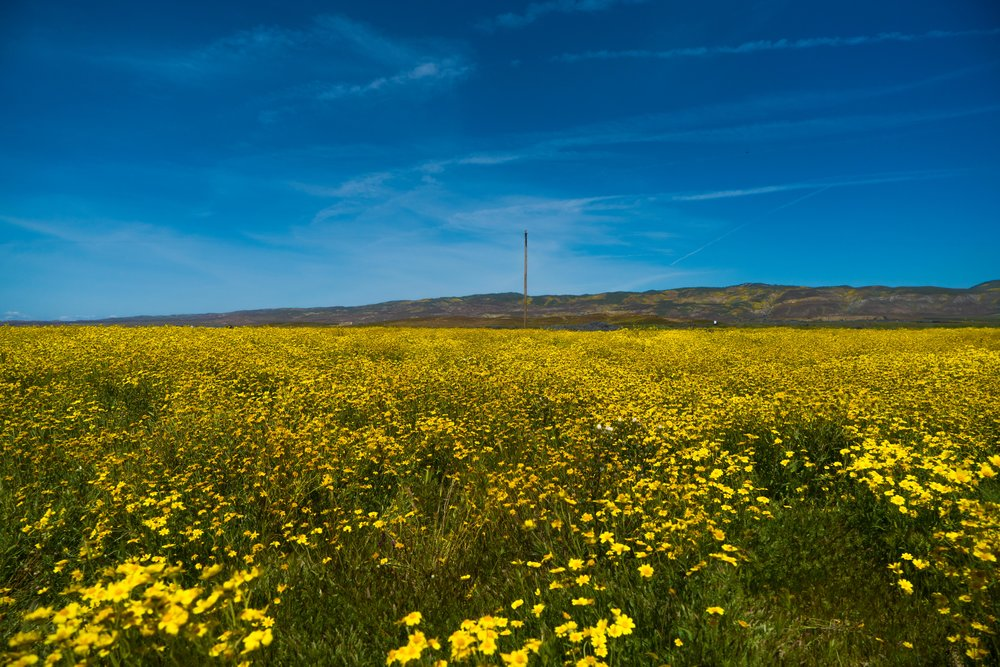 Fields of yellow wildflowers off Seven Mile Road