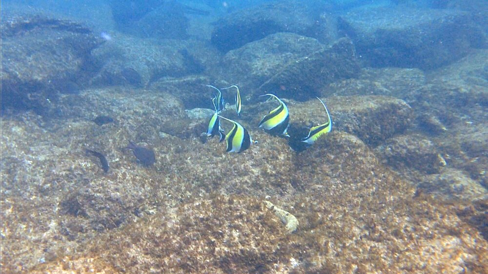 Butterfly Fish - Snorkeling Kapalua - Wandering Jokas Travel & Ice Cream Blog