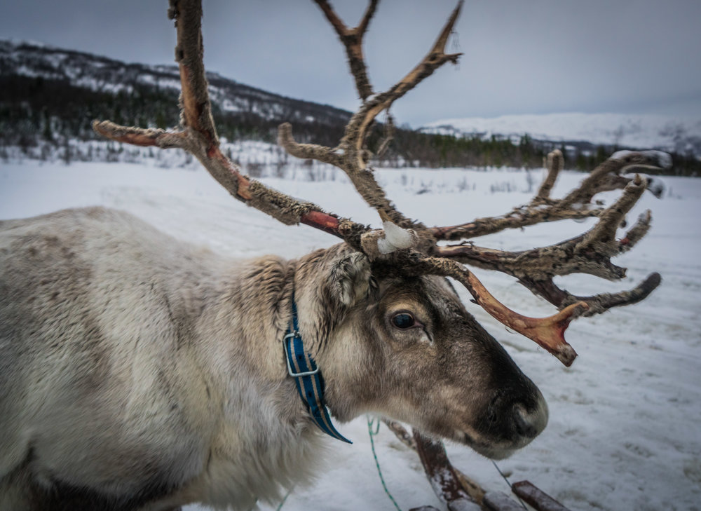 Reindeer rides - Best things to do in Norway