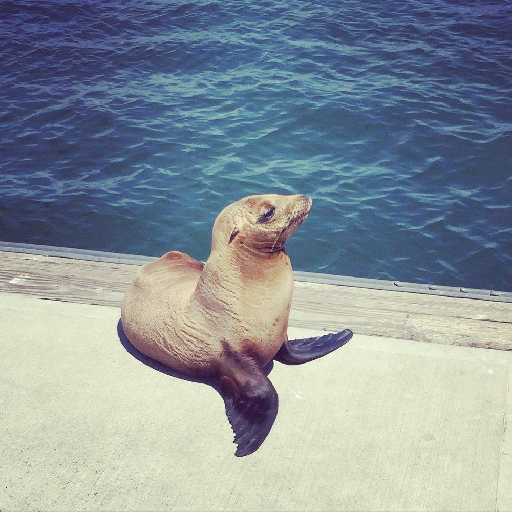 Marina Del Rey baby Sea Lion