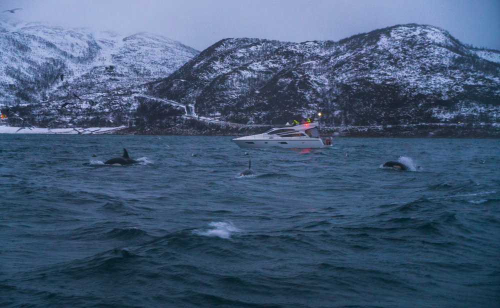 Norway Tromso Whale Watching Acinorway