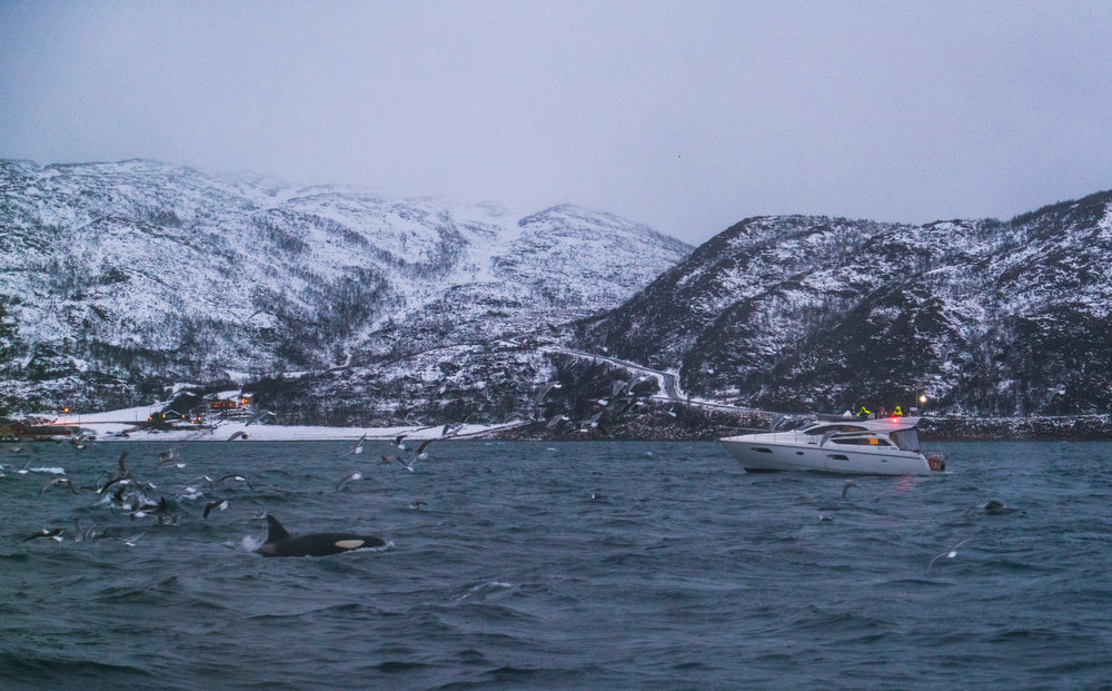 Norway Tromso Orca Pod Whale Sighting - Whale Watching