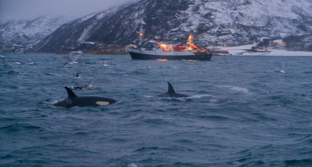 Norway - Wild orca pod found in Tromso - Acinorway