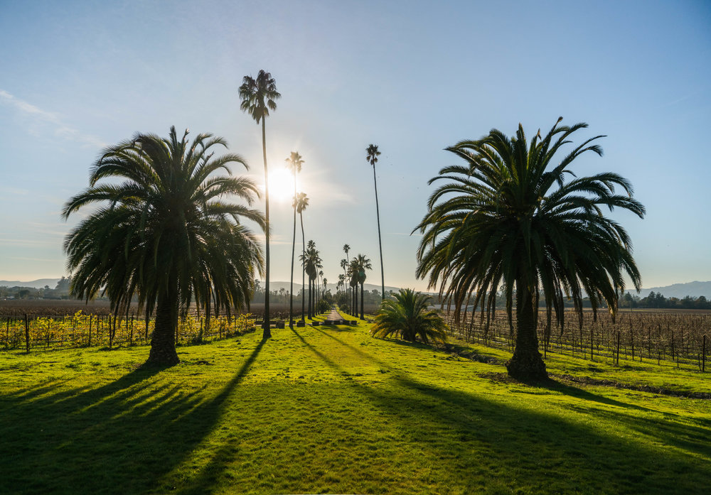 Best Wineries in Sonoma - Scribe winery palm tree driveway