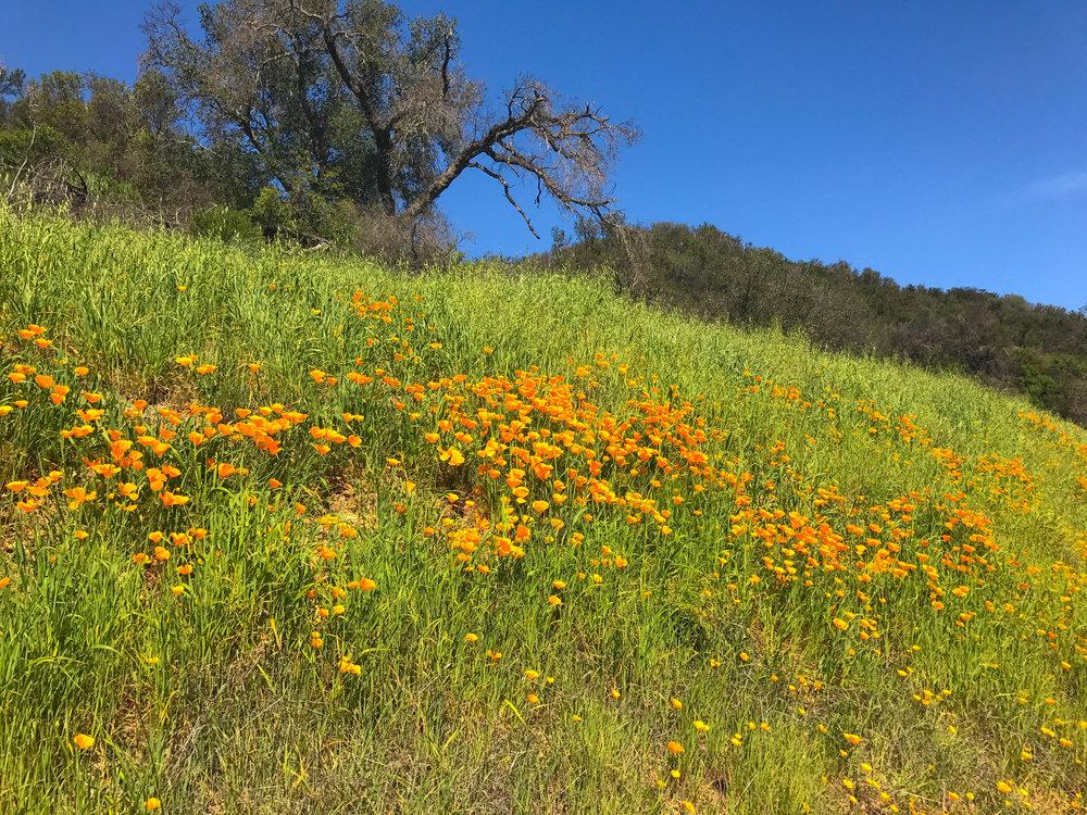 Paramount Ranch Television Movie Set - California Poppy field
