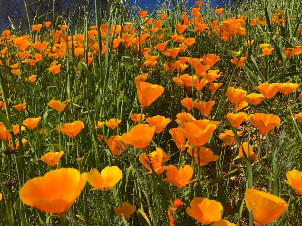 Paramount Ranch Hiking trail - California Poppy