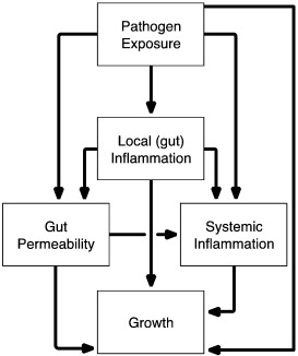 Conceptual model of the associations between pathogens, markers of gut function and inflammation, systemic inflammation and growth.